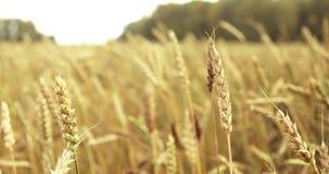 Campo de trigo acariciado por el viento Oídos del cierre del trigo para arriba 4K almacen de metraje de vídeo