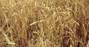 Campo de trigo acariciado por el viento Oídos del cierre del trigo para arriba 4K almacen de video
