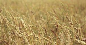 Campo de trigo acariciado por el viento Oídos del cierre del trigo para arriba 4K metrajes