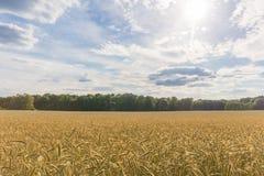 Campo de trigo - ajardine o céu azul e as nuvens Foto de Stock Royalty Free