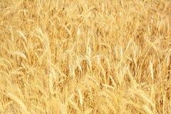 Campo de trigo amarelo, colheita de colheitas de grão Orelhas maduras do trigo de fotos de stock royalty free