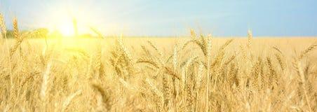 Campo de trigo amarelo, colheita de colheitas de grão Orelhas maduras do trigo de fotos de stock