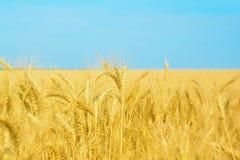 Campo de trigo amarelo e céu azul, colheita de colheitas de grão maduro fotografia de stock royalty free