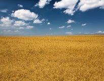 Campo de trigo amarelo sob o céu azul e as nuvens Foto de Stock Royalty Free