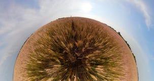 Campo de trigo amarillo almacen de video