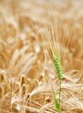 Campo de trigo amarillo. Foto de archivo libre de regalías