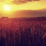 Campo de trigo amarillo de la mañana en los rayos anaranjados nublados del sol poniente del fondo del cielo de la puesta del sol  Fotografía de archivo