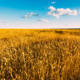 Campo de trigo amarillo en Sunny Sky Background azul Fotografía de archivo