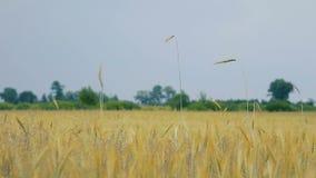 Campo de trigo amarillo soleado almacen de metraje de vídeo