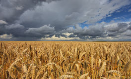 Campo de trigo amenazante por el tiempo Foto de archivo libre de regalías