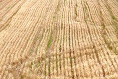 Campo de trigo antes de la cosecha Fotografía de archivo