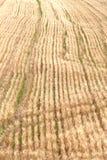 Campo de trigo antes de la cosecha Fotos de archivo