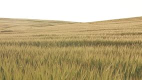 Campo de trigo antes de la puesta del sol, tiro lento del carro almacen de metraje de vídeo