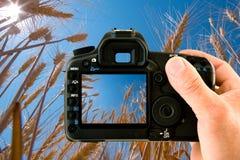 Campo de trigo através da câmera Imagens de Stock Royalty Free