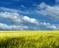 Campo de trigo bajo el cielo azul Fotografía de archivo
