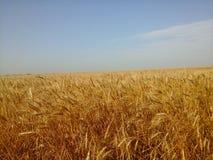 Campo de trigo bajo el cielo azul Foto de archivo libre de regalías