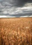 Campo de trigo bajo el cielo oscuro Foto de archivo