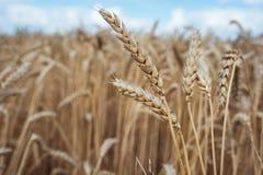 Campo de trigo bajo un cielo azul Imagen de archivo