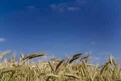 Campo de trigo bajo un cielo azul.   Imagenes de archivo