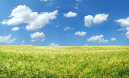 Campo de trigo bonito imagens de stock royalty free