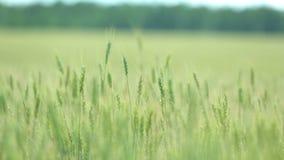 Campo de trigo bonito no céu azul com nuvens Trigo verde no campo Não amadureça o trigo filme