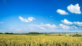 Campo de trigo, céu azul profundo e nuvens brancas video estoque