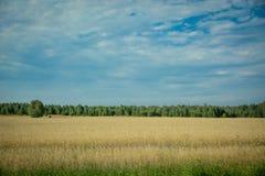 Campo de trigo, campo de trigo Imagem de Stock Royalty Free