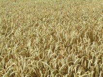 Campo de trigo, campo del trigo Fotos de archivo libres de regalías