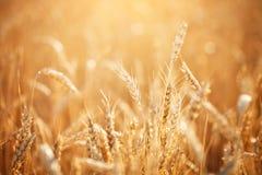 Campo de trigo Cenário rural sob a luz solar de brilho Um fundo do trigo de amadurecimento Colheita rica Imagem de Stock Royalty Free