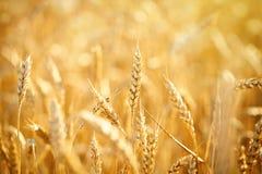 Campo de trigo Cenário rural sob a luz solar de brilho Um fundo do trigo de amadurecimento Colheita rica Fotografia de Stock Royalty Free