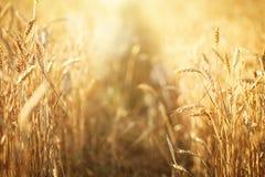 Campo de trigo Cenário rural sob a luz solar de brilho Um fundo do trigo de amadurecimento Colheita rica Fotos de Stock Royalty Free
