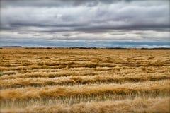 Campo de trigo colhido Fotografia de Stock
