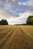 Campo de trigo colhido na luz solar da noite Fotografia de Stock