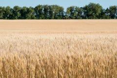 Campo de trigo com as árvores no borrão no horizonte Imagens de Stock