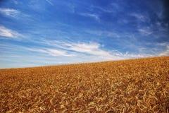 Campo de trigo com céu de azuis Imagens de Stock
