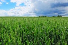 Campo de trigo com céu tormentoso Imagens de Stock Royalty Free
