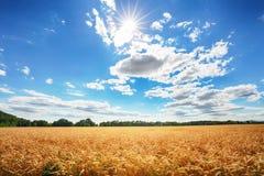 Campo de trigo com o céu azul do anb do sol, indústria da agricultura fotografia de stock royalty free