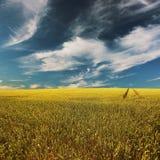 Campo de trigo com o céu de azuis profundo Imagens de Stock