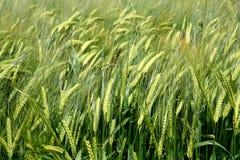 Campo de trigo como fondo Imágenes de archivo libres de regalías