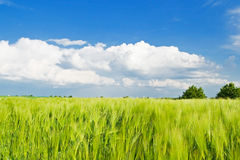 Campo de trigo con el cielo azul Imagen de archivo libre de regalías