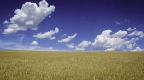 Campo de trigo con el cielo azul Fotos de archivo