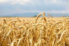 Campo de trigo con el cielo azul y nubes y montaña en fondo Imagen de archivo libre de regalías