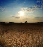 Campo de trigo con el cielo de la tarde Foto de archivo libre de regalías