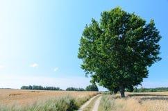 Campo de trigo con el solos árbol y camino Imagen de archivo libre de regalías