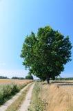Campo de trigo con el solos árbol y camino Imagen de archivo