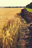 Campo de trigo con el surco fotografía de archivo libre de regalías