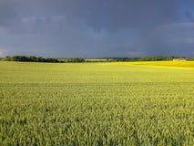 Campo de trigo con la luz aguda Fotografía de archivo libre de regalías
