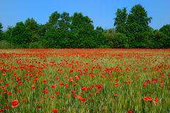 Campo de trigo con las amapolas Imagen de archivo