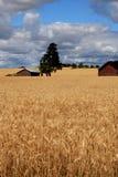 Campo de trigo con las cabañas Fotografía de archivo libre de regalías