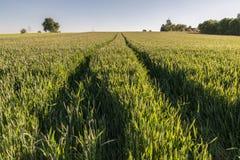 Campo de trigo con las pistas del tractor Imagenes de archivo